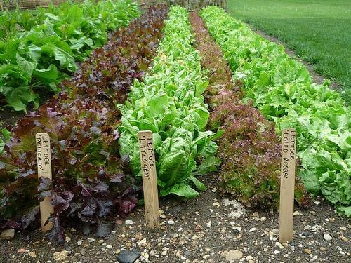 Community Garden Pic_ lettuce